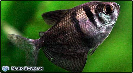 Click image for larger version  Name:0902_black_widow_tetra.jpg Views:1 Size:27.0 KB ID:46542